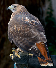 Shasta, Red-Tailed Hawk